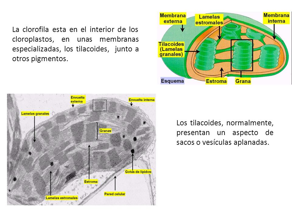 La clorofila esta en el interior de los cloroplastos, en unas membranas especializadas, los tilacoides, junto a otros pigmentos.