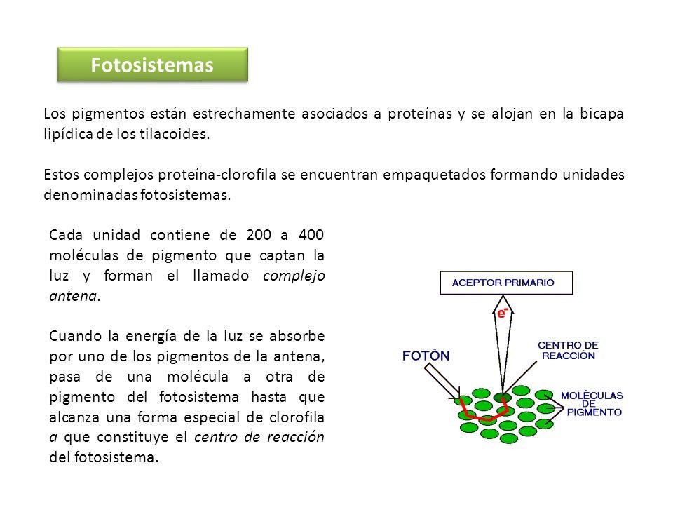 Fotosistemas Los pigmentos están estrechamente asociados a proteínas y se alojan en la bicapa lipídica de los tilacoides.