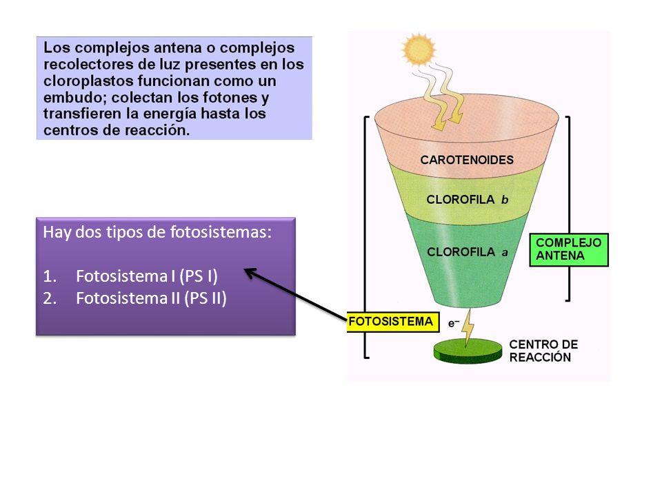 Hay dos tipos de fotosistemas: