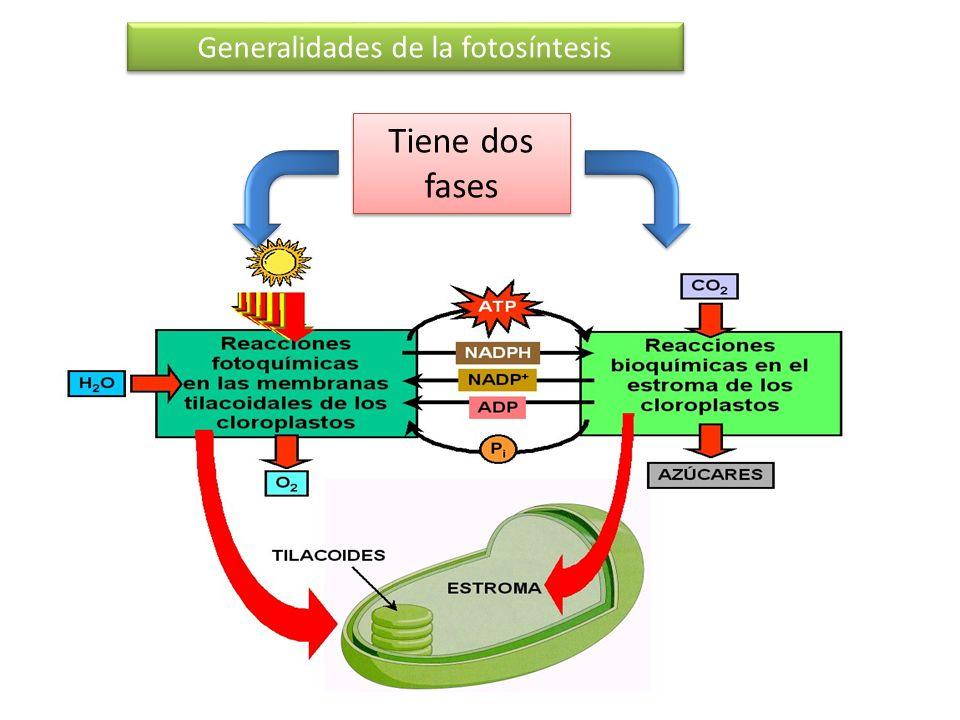 Tiene dos fases Generalidades de la fotosíntesis Fase luminosa
