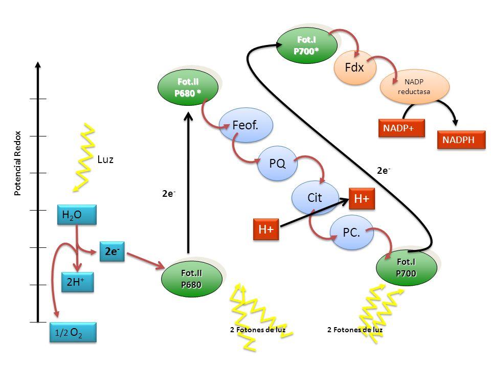 Fdx Feof. PQ Cit H+ H+ PC. Luz H2O 2e- 2H+ NADP+ NADPH 2e- 2e- Fot.I