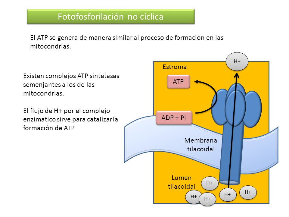 Fotofosforilación no cíclica