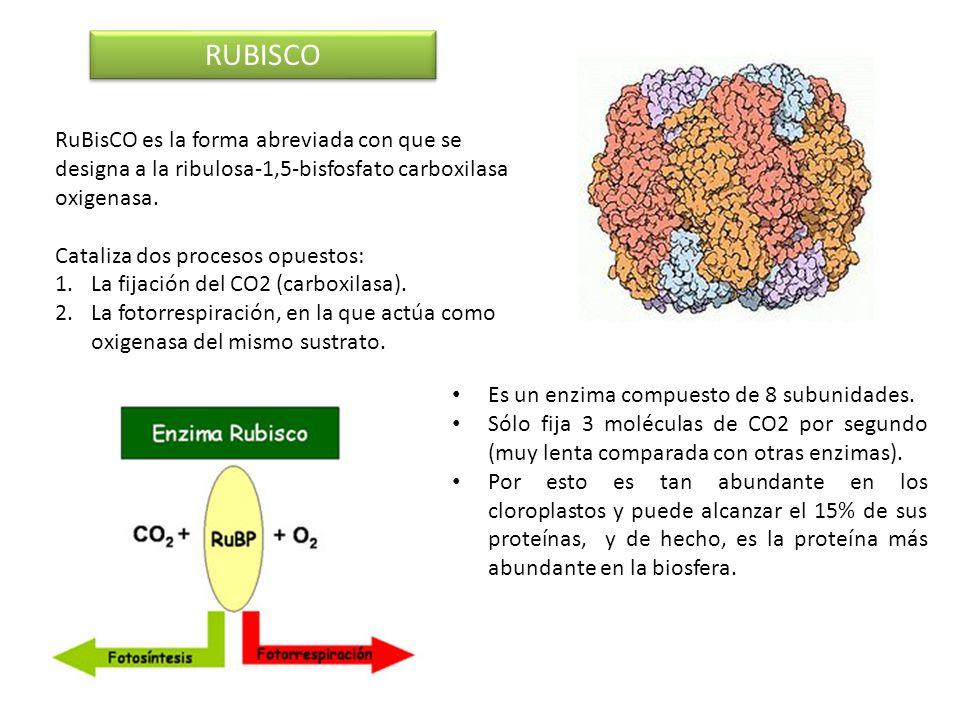 RUBISCO RuBisCO es la forma abreviada con que se designa a la ribulosa-1,5-bisfosfato carboxilasa oxigenasa.