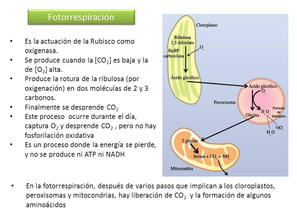 Fotorrespiración Es la actuación de la Rubisco como oxigenasa.