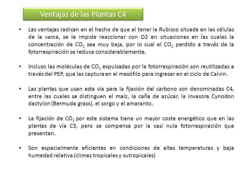 Ventajas de las Plantas C4