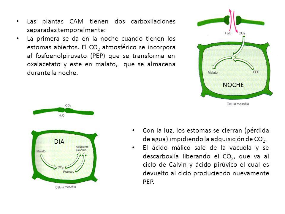 NOCHE Las plantas CAM tienen dos carboxilaciones separadas temporalmente: