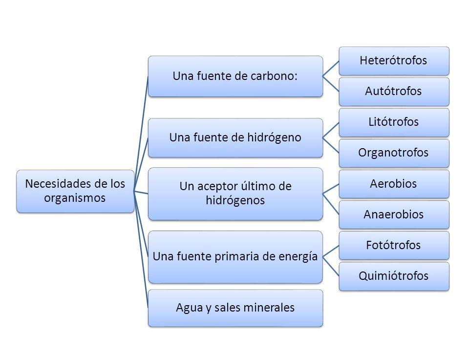 Necesidades de los organismos Una fuente de carbono: Heterótrofos