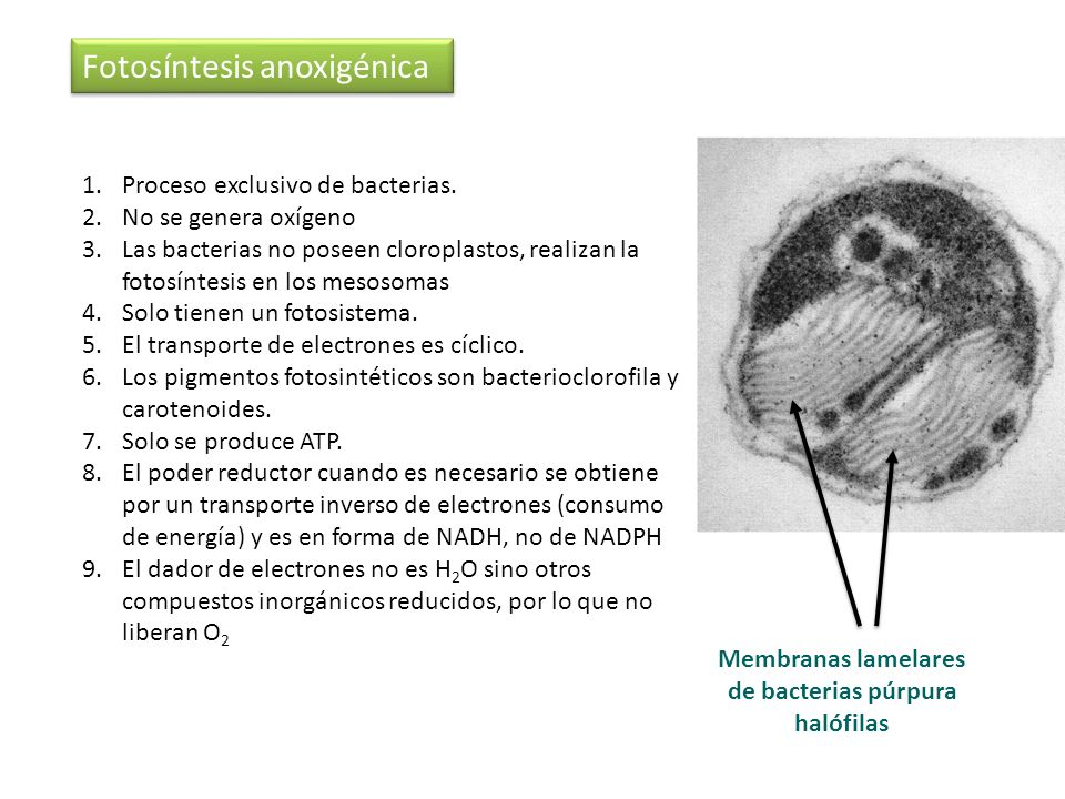 Membranas lamelares de bacterias púrpura halófilas