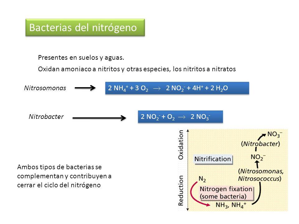Bacterias del nitrógeno