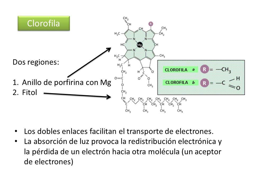 Clorofila Dos regiones: Anillo de porfirina con Mg Fitol