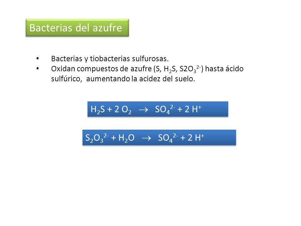 Bacterias del azufre H2S + 2 O2  SO42- + 2 H+