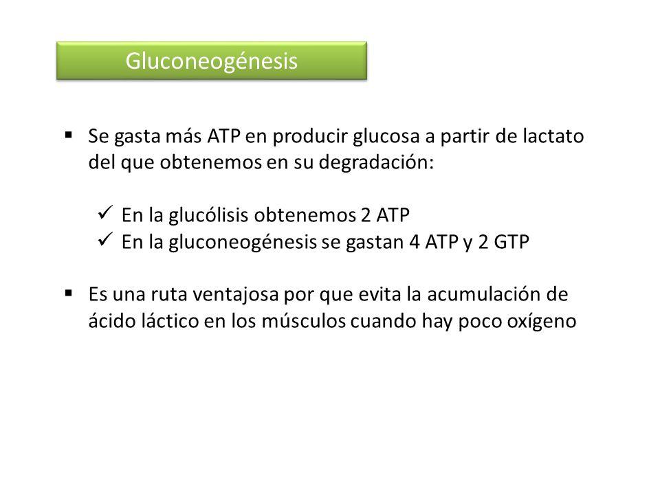 Gluconeogénesis Se gasta más ATP en producir glucosa a partir de lactato del que obtenemos en su degradación: