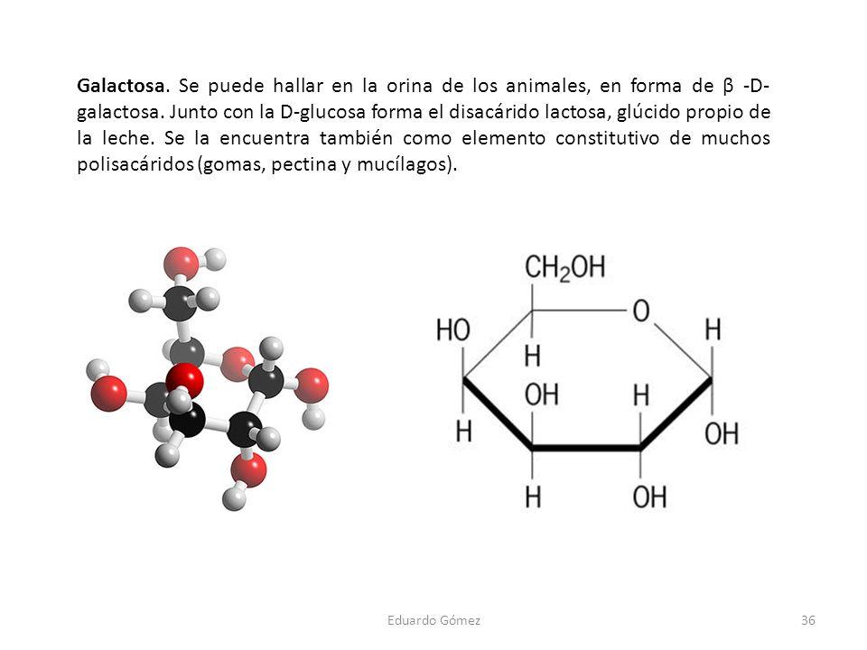 Galactosa. Se puede hallar en la orina de los animales, en forma de β -D-galactosa. Junto con la D-glucosa forma el disacárido lactosa, glúcido propio de la leche. Se la encuentra también como elemento constitutivo de muchos polisacáridos (gomas, pectina y mucílagos).
