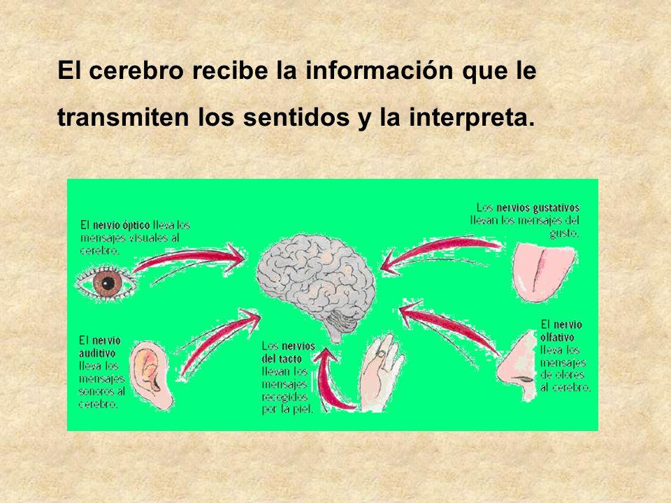 El cerebro recibe la información que le
