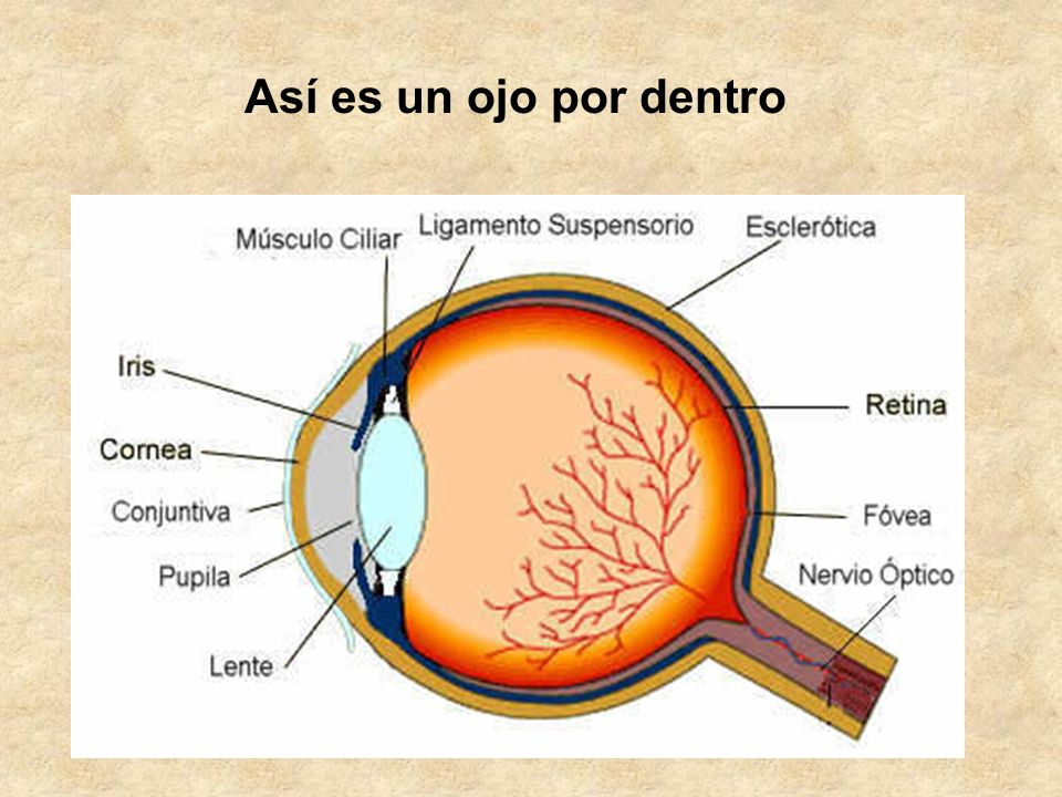 Así es un ojo por dentro