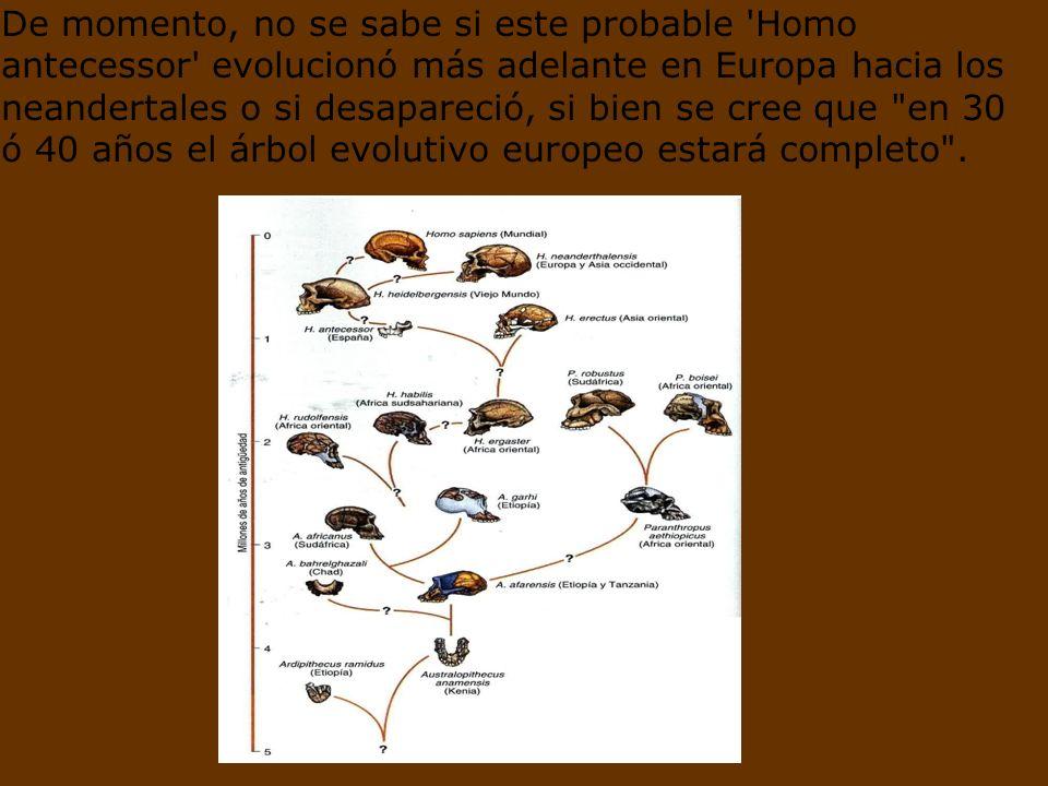 De momento, no se sabe si este probable Homo antecessor evolucionó más adelante en Europa hacia los neandertales o si desapareció, si bien se cree que en 30 ó 40 años el árbol evolutivo europeo estará completo .