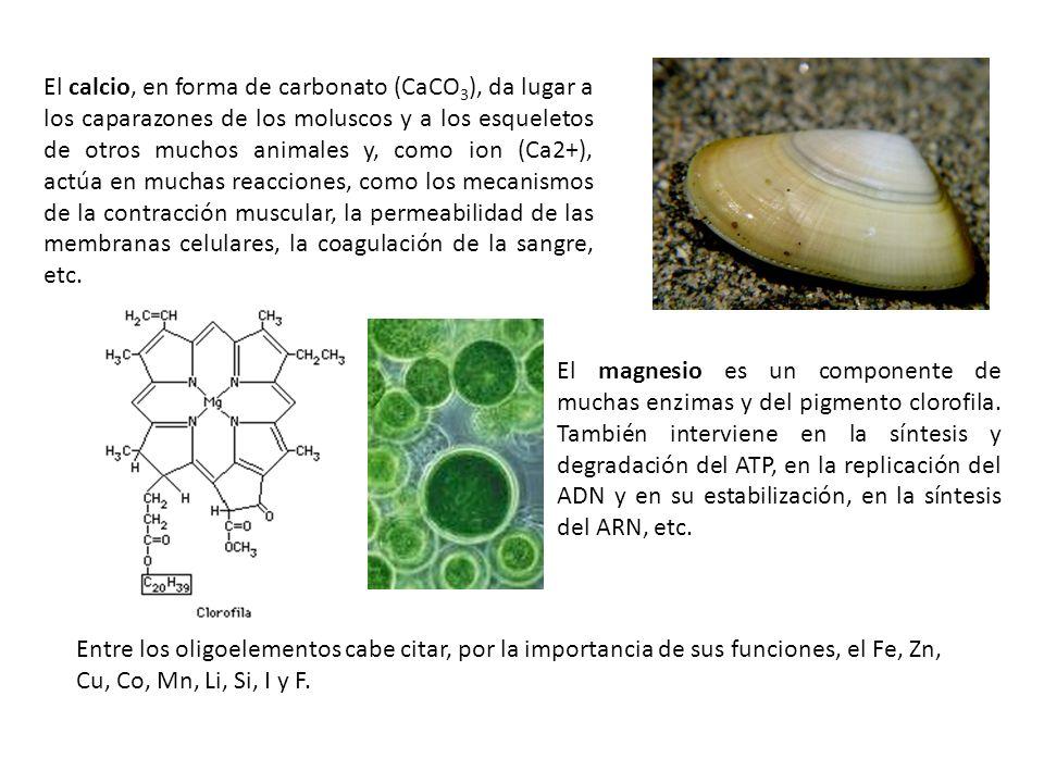 El calcio, en forma de carbonato (CaCO3), da lugar a los caparazones de los moluscos y a los esqueletos de otros muchos animales y, como ion (Ca2+), actúa en muchas reacciones, como los mecanismos de la contracción muscular, la permeabilidad de las membranas celulares, la coagulación de la sangre, etc.