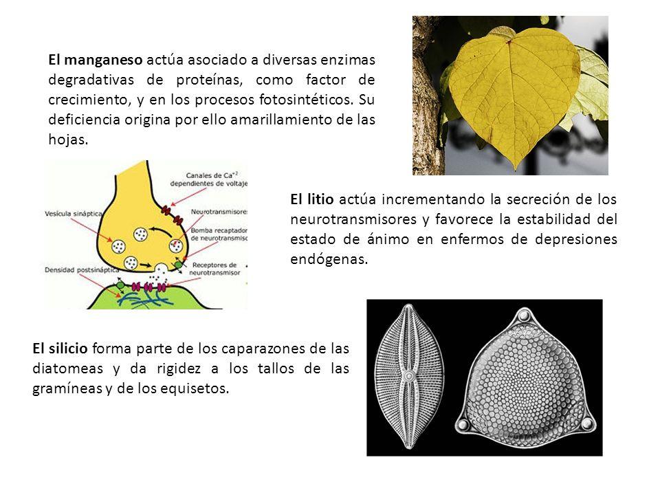 El manganeso actúa asociado a diversas enzimas degradativas de proteínas, como factor de crecimiento, y en los procesos fotosintéticos. Su deficiencia origina por ello amarillamiento de las hojas.