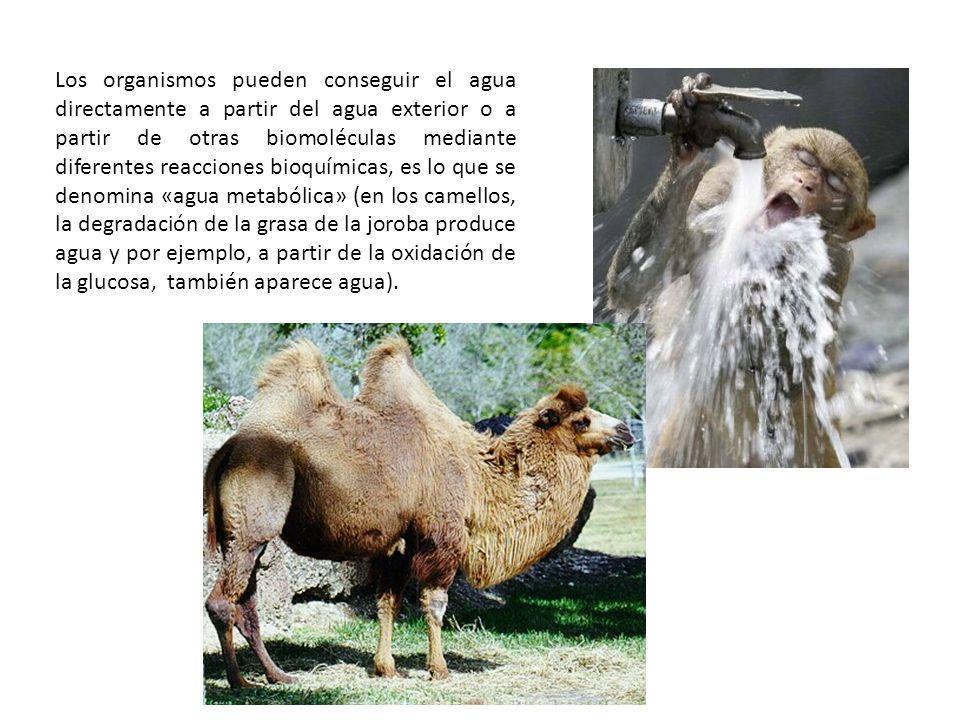 Los organismos pueden conseguir el agua directamente a partir del agua exterior o a partir de otras biomoléculas mediante diferentes reacciones bioquímicas, es lo que se denomina «agua metabólica» (en los camellos, la degradación de la grasa de la joroba produce agua y por ejemplo, a partir de la oxidación de la glucosa, también aparece agua).