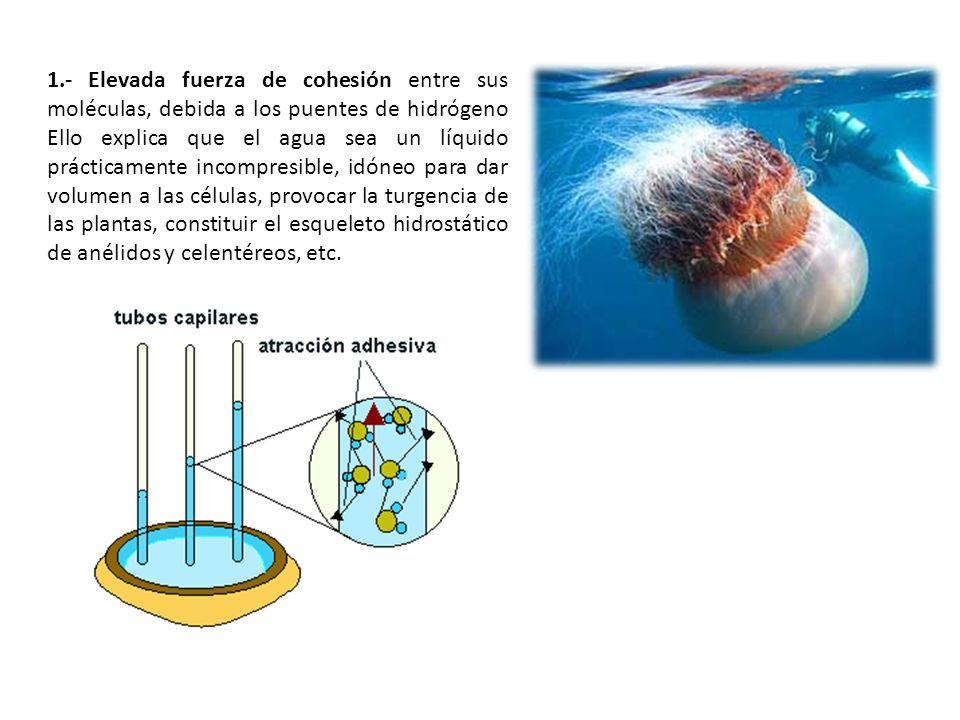 1.- Elevada fuerza de cohesión entre sus moléculas, debida a los puentes de hidrógeno Ello explica que el agua sea un líquido prácticamente incompresible, idóneo para dar volumen a las células, provocar la turgencia de las plantas, constituir el esqueleto hidrostático de anélidos y celentéreos, etc.