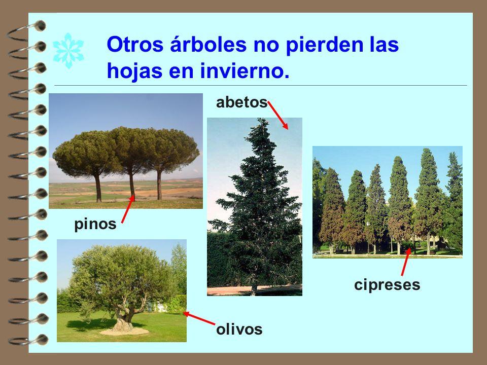 Otros árboles no pierden las hojas en invierno.
