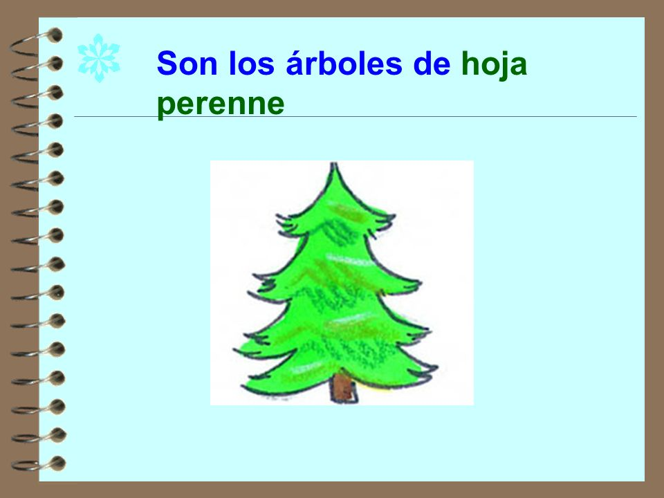 Son los árboles de hoja perenne