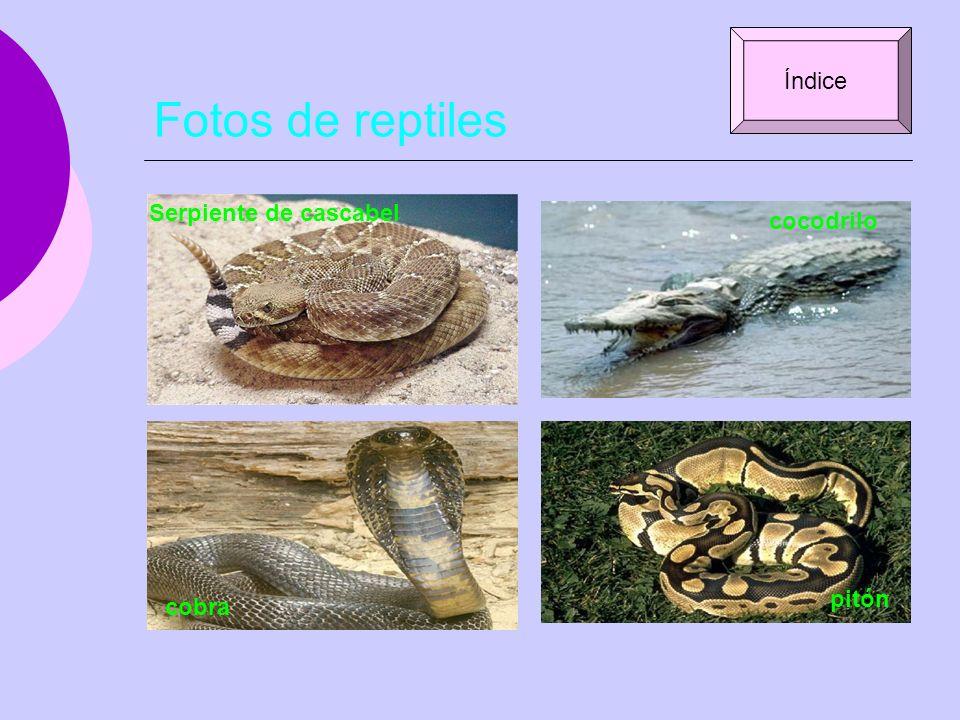 Fotos de reptiles Índice Serpiente de cascabel cocodrilo pitón cobra