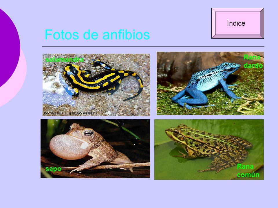 Fotos de anfibios Índice Rana dardo salamandra Rana común sapo