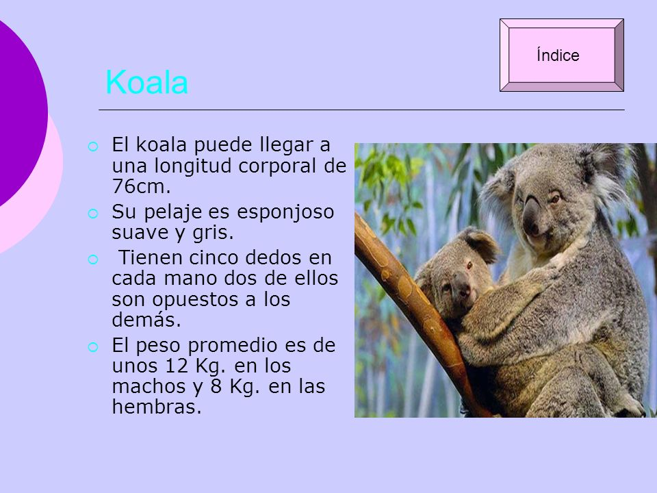 Koala El koala puede llegar a una longitud corporal de 76cm.