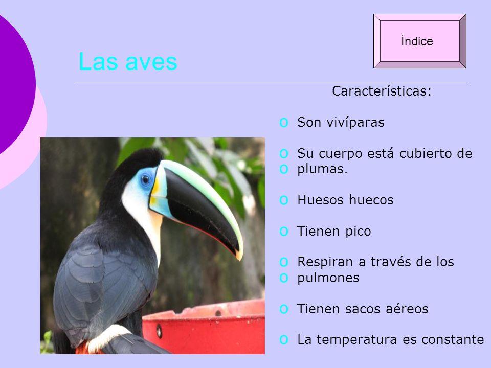 Las aves Características: Son vivíparas Su cuerpo está cubierto de