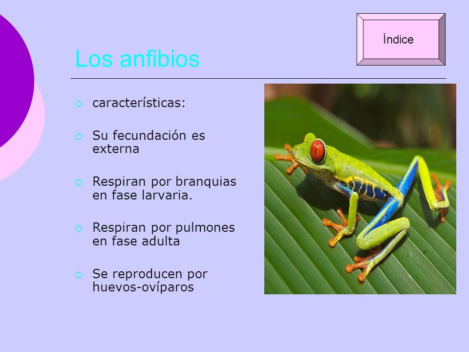 Los anfibios características: Su fecundación es externa