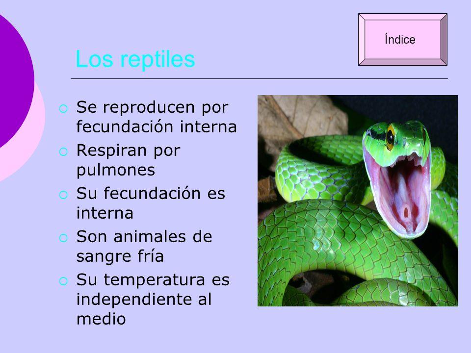 Los reptiles Se reproducen por fecundación interna
