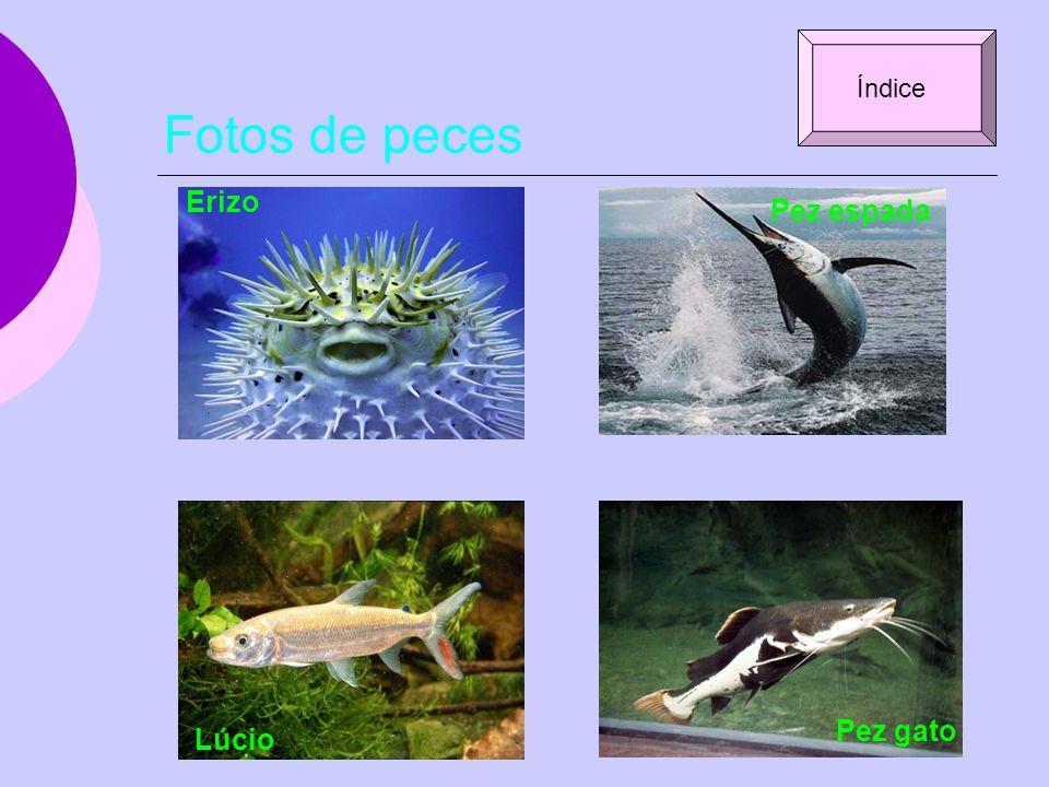 Índice Fotos de peces Erizo Pez espada Pez gato Lúcio