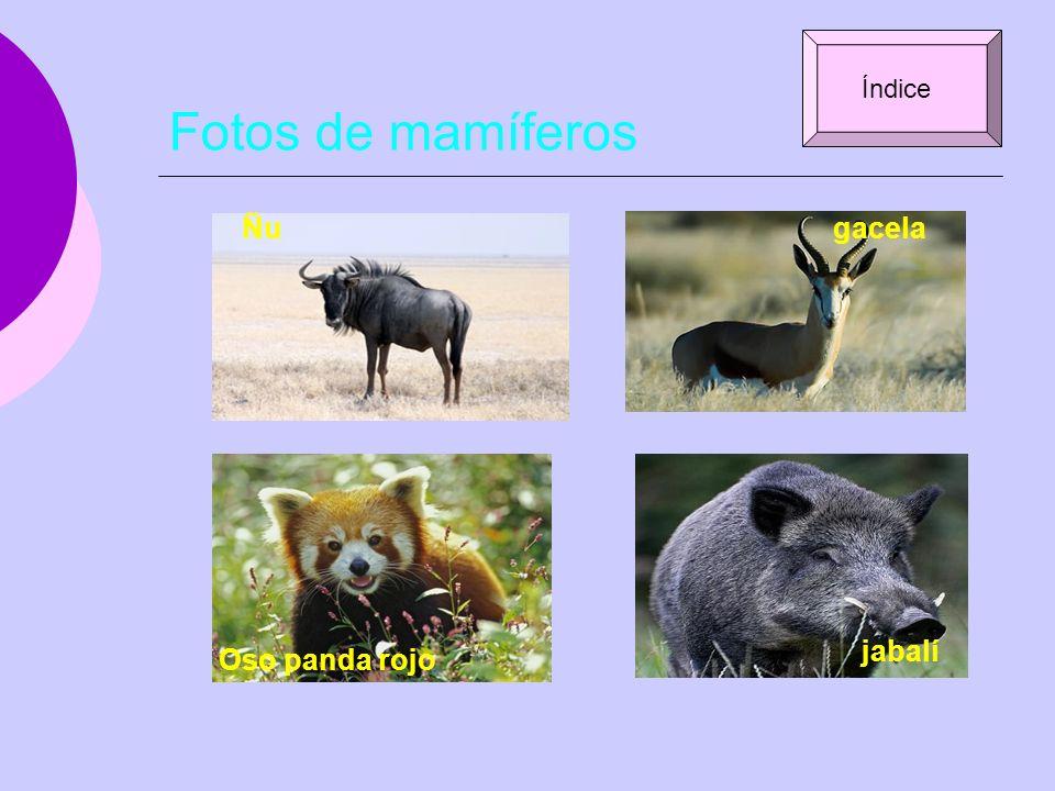Fotos de mamíferos Índice Ñu gacela jabalí Oso panda rojo
