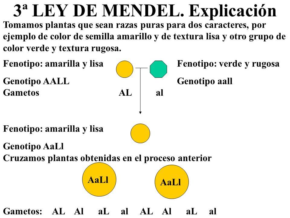 3ª LEY DE MENDEL. Explicación