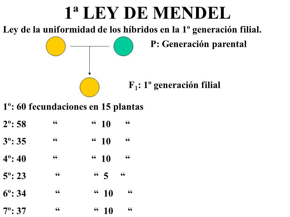 1ª LEY DE MENDELLey de la uniformidad de los híbridos en la 1º generación filial. P: Generación parental.