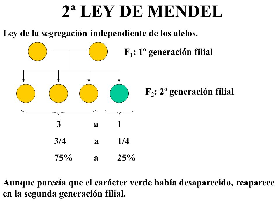2ª LEY DE MENDEL Ley de la segregación independiente de los alelos.