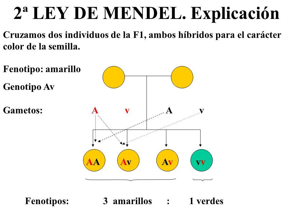 2ª LEY DE MENDEL. Explicación
