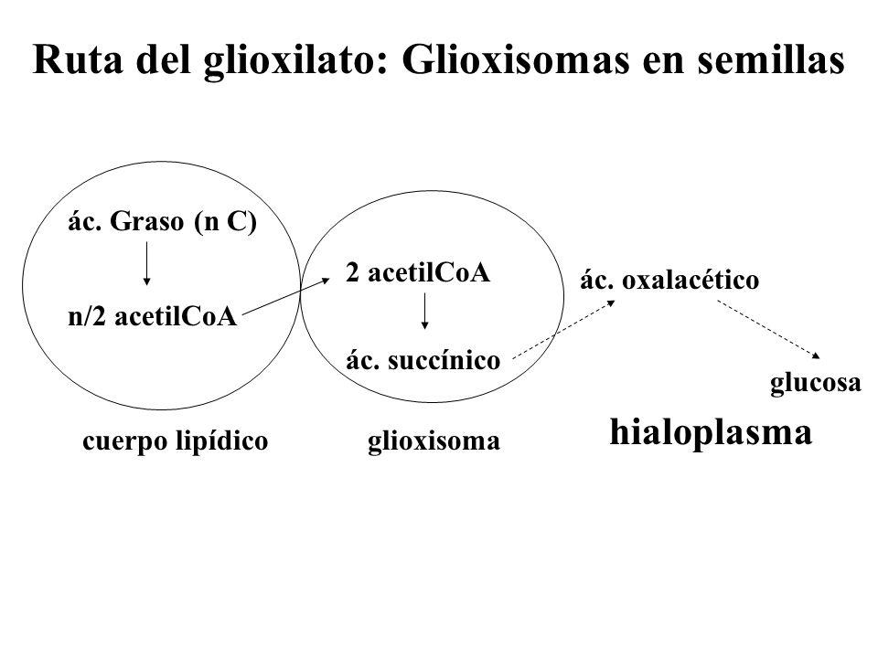 Ruta del glioxilato: Glioxisomas en semillas