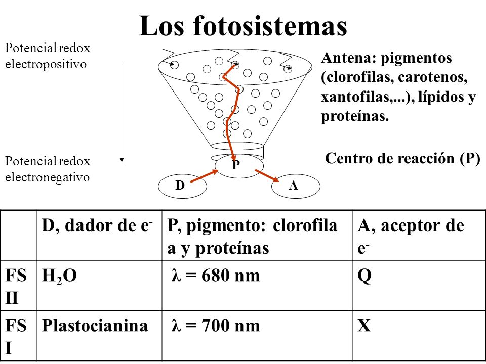 Los fotosistemas D, dador de e- P, pigmento: clorofila a y proteínas