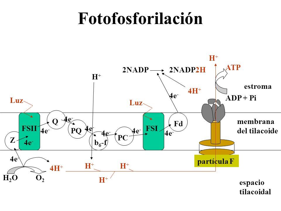 Fotofosforilación H+ ADP + Pi ATP 4H+ 2NADP 2NADP2H 4e- H+