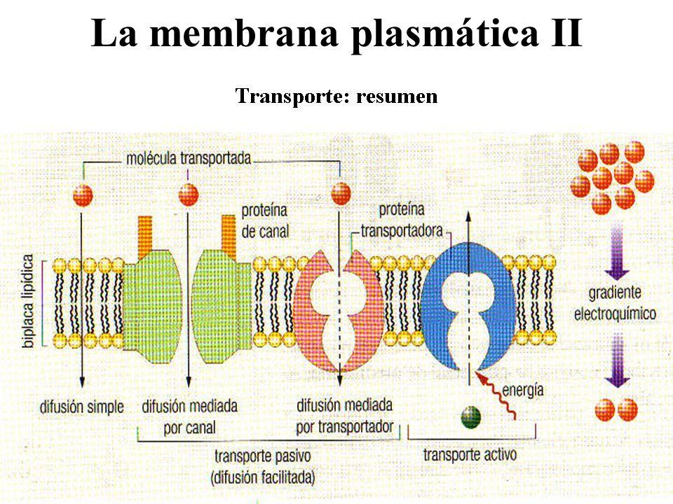 La membrana plasmática II