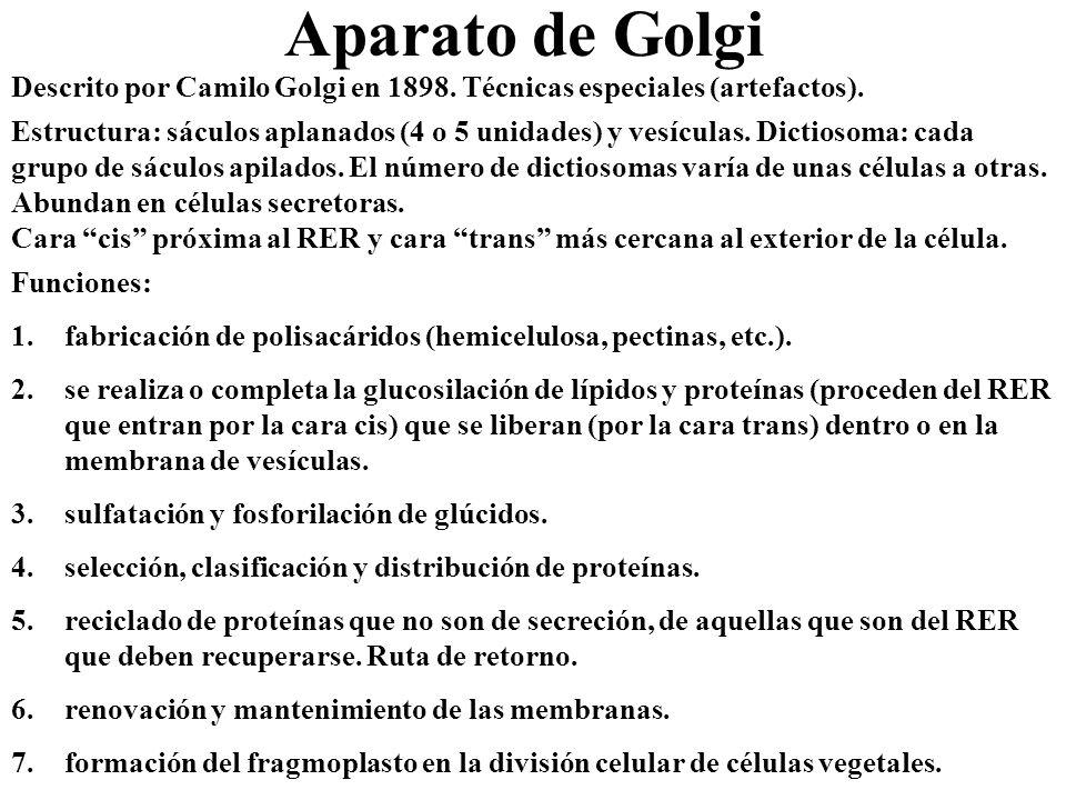 Aparato de Golgi Descrito por Camilo Golgi en 1898. Técnicas especiales (artefactos).