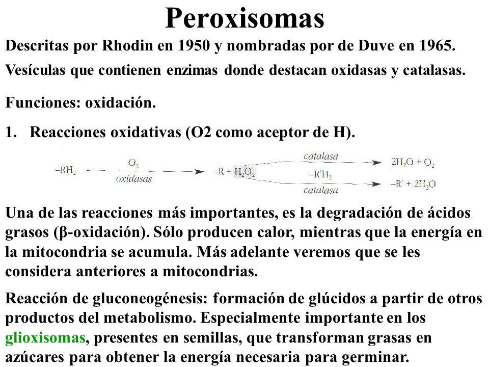 Peroxisomas Descritas por Rhodin en 1950 y nombradas por de Duve en 1965. Vesículas que contienen enzimas donde destacan oxidasas y catalasas.