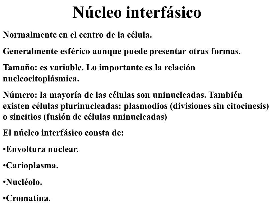 Núcleo interfásico Normalmente en el centro de la célula.