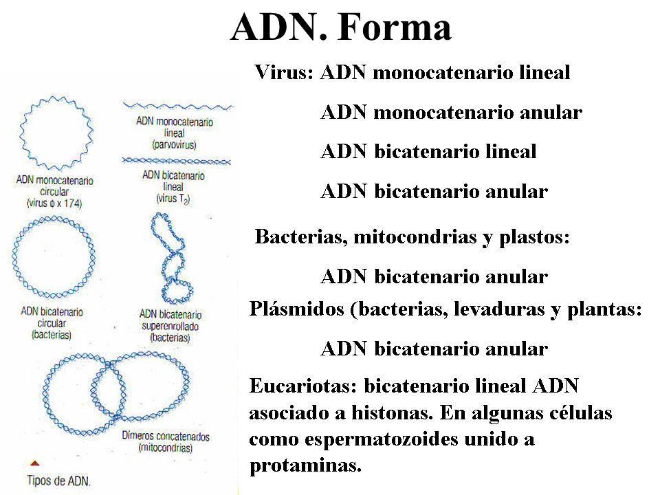 ADN. Forma