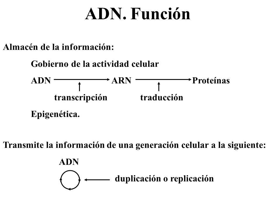 ADN. Función Almacén de la información: