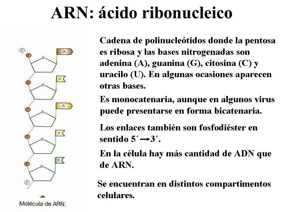 ARN: ácido ribonucleico
