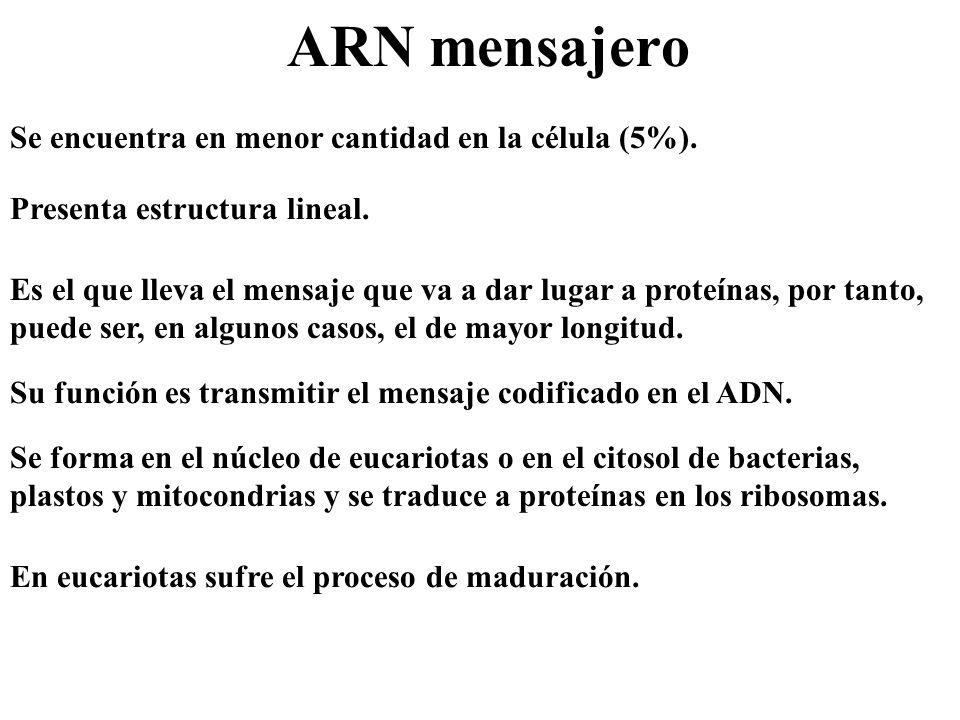 ARN mensajero Se encuentra en menor cantidad en la célula (5%).