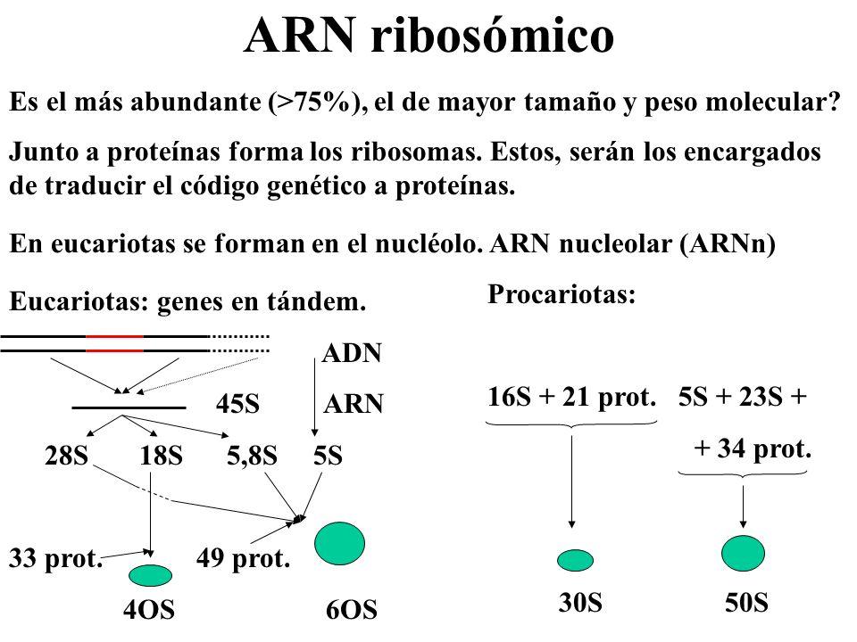 ARN ribosómico Es el más abundante (>75%), el de mayor tamaño y peso molecular